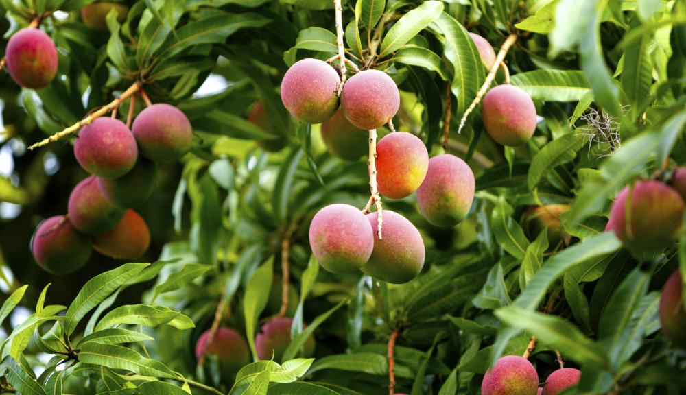 Extracto de árbol de mango podría prevenir lesiones del corazón