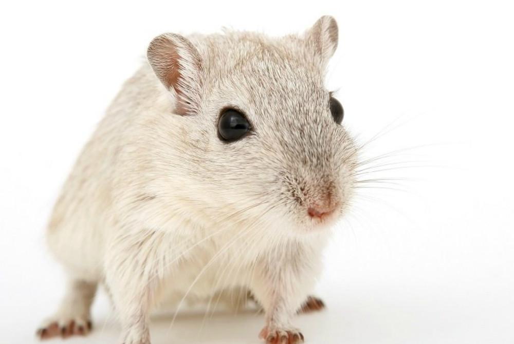 Crecimiento de páncreas en ratas genéticamente compatibles revierte la diabetes en ratones